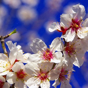 Almond trees are everywhere too - this is one in blossom! Photo via Flickr:ANA