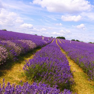 Lavender fields. Photo via Flickr:nevalenx